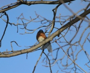 Eastern bluebird (web)