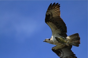 Osprey with fish SMALL