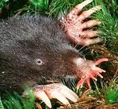 Starnosed Mole